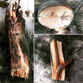 A volte esplodono: Crack su branca di Pinus wallichiana